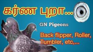 கர்ண புறா...- Karna pigeon(roller pigeon)