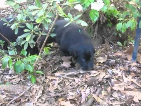 Cahaba Flat Coated Retriever Mimi's 5 Week Old Puppies