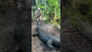 Feeding a gigantic alligator 🐊