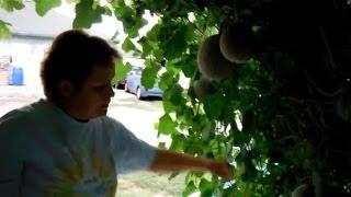 Cantaloupe Arbor