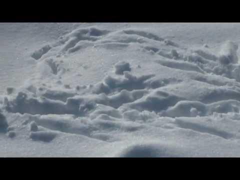 Следы птиц на снегу. Ворона