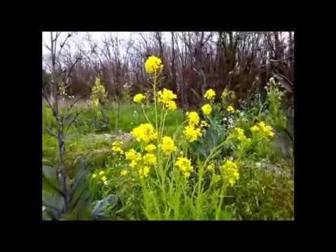 FLEURS ET POLLINISATEURS : Agriculture Naturelle selon Masanobu Fukuoka
