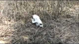 Coyote Trapping useing a skull for a flat set on a Predator Control Group Job