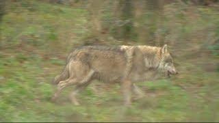 Le loup continue d'inquiéter les éleveurs en Limousin