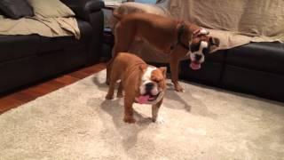 English Bulldog Vs Boxer