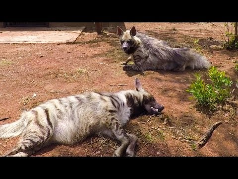Meet The Striped Hyenas! | The Lion Whisperer