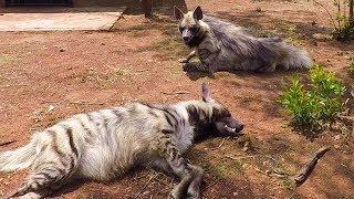 Meet The Striped Hyenas! | The Lion Whisperer