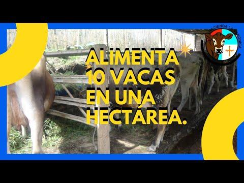 COMO LOGRAR ALIMENTAR 10 VACAS CON UNA HECTAREA DE PASTO