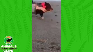 Piggy Goes to the Beach   Animals Doing Things Clips
