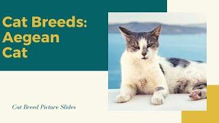 Aegean Cat Silde  Cat Breeds