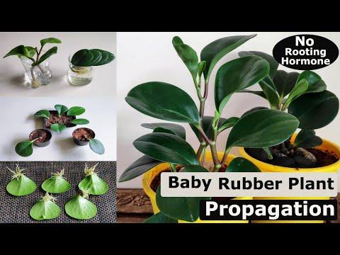 3 Easy Ways to Propagate Your Baby Rubber Plant (Peperomia obtusifolia)   Peperomia Propagation
