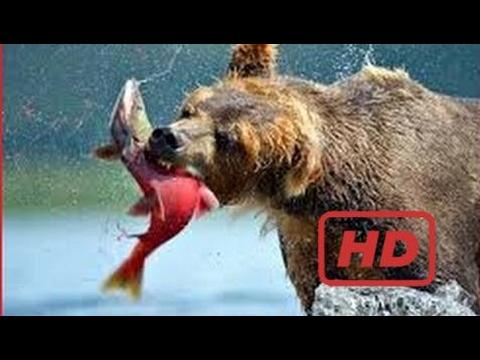 Documentary Bear Alaska Bear Documentaries BBC - Grizzly Bears Catching Salmon - Planet Earth 2 - N