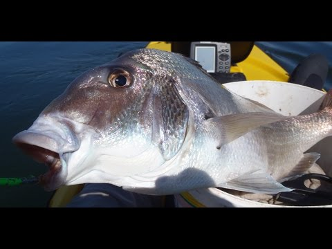 Jumbo Porgy Fishing On Jigs
