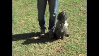 Thomas (cairn Terrier) Target Heeling