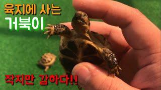 애완거북 호스필드 육지거북 어떻게 키워요 귀여운 거북이…