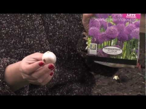 Allium planting guide new – easy to grow bulbs.
