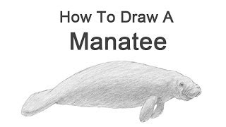 How to Draw a Manatee