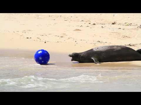 Hawaiian Monk Seals - Rocky defends her pup