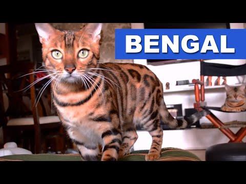 Bengal - Quatro Patas