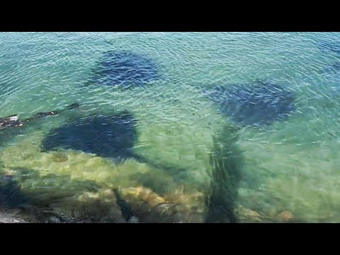 This Is Not Normal!  700lb Stingrays Swarm Beach!