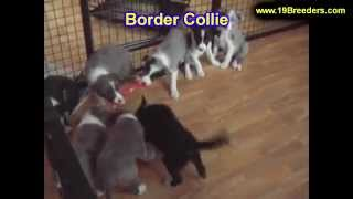 Border Collie, Puppies, For, Sale, In, Billings, Montana, Mt, Missoula, Great  Falls, Bozeman