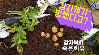 상토에 심은 감자 망했다고~ 크기?