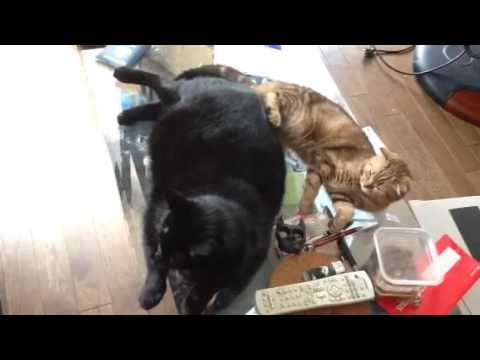 Lazy day for sweets cats! Scottish Folds & Black cat relaxi