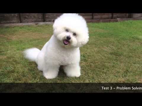 Dog IQ Test  Ozzie Bichon