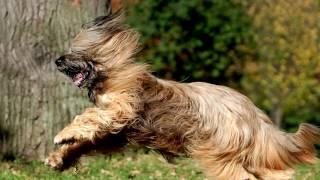 Порода собак. Бриар. Верный, умный и многосторонний компаньон