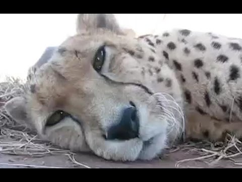 Cute Cheetah Purring And Cuddling - A Cute Big Cat Videos ...