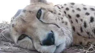 Cute Cheetah Purring and Cuddling A Cute Big Cat s