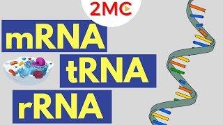 mRNA, tRNA, and rRNA function | Types of RNA