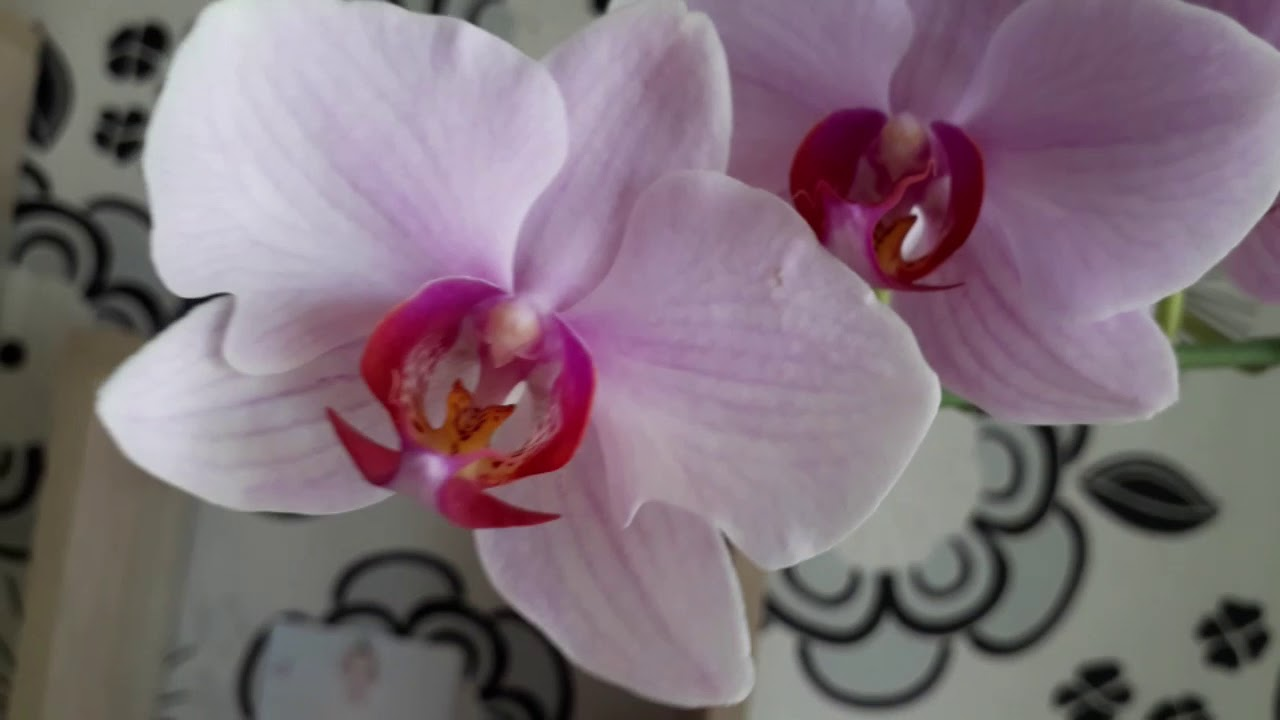 Июльское цветение моих орхидей