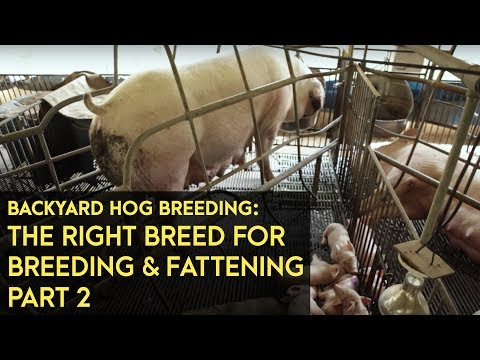 Backyard Hog Breeding: Using the right breeds for breeding, fattening | Agribusiness B-MEG Episode7B