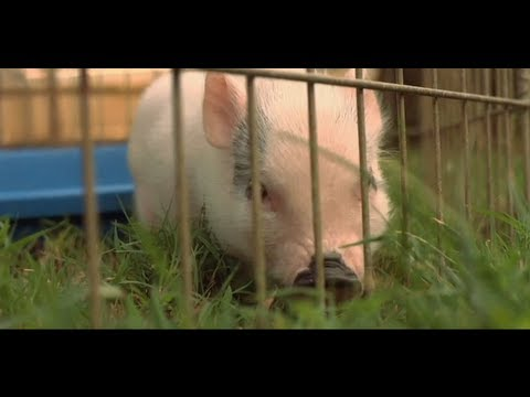 Are Teacup Pigs Legal in Cities? | Small Pets