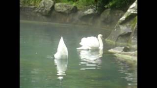 Лебеди ныряют в пруду за едой Воронцовский парк Алупка 2017