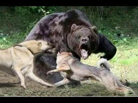 Кангал догоняет медведя !!!