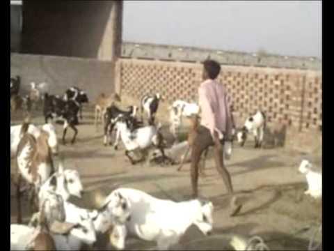 khatkar goat farm com