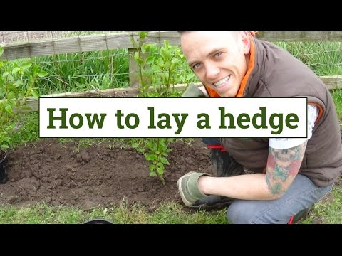 How to lay a garden hedge