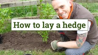 How to plant a garden hedge
