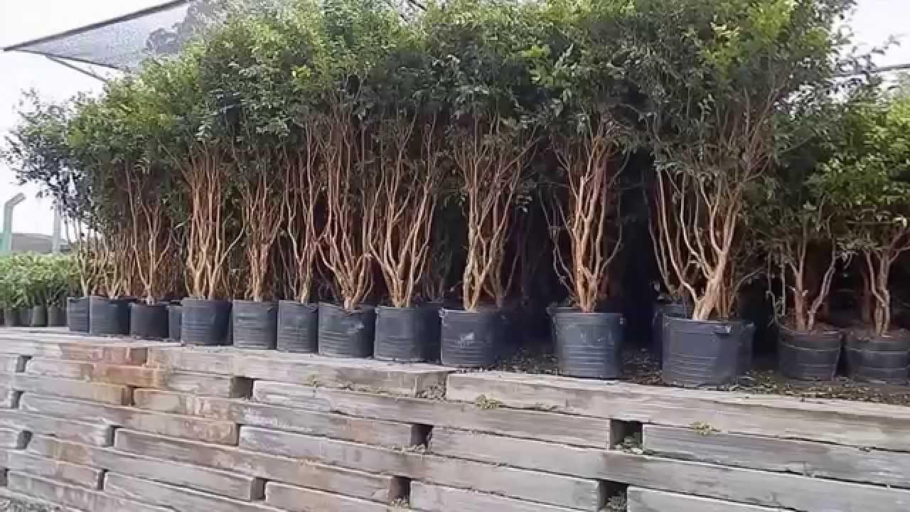 Fabuloso Mondini Plantas: Como cultivar Jabuticaba - YouTube MU53