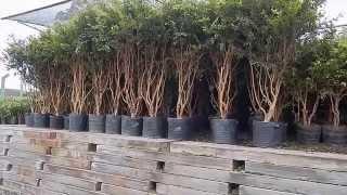 Mondini Plantas: Como cultivar Jabuticaba