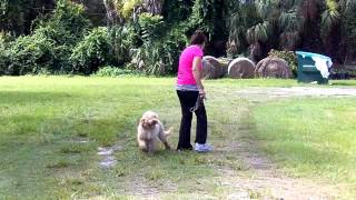 Puppy Training Labradoodle Sven Starting Off Leash Dogtra Pager