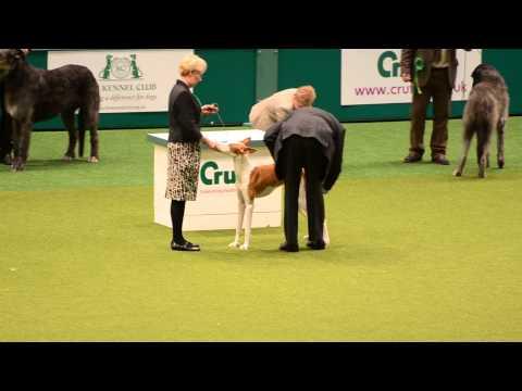 "The ""best in breed"" Ibizan Hound @ Crufts 2014 [07-03-2014]"