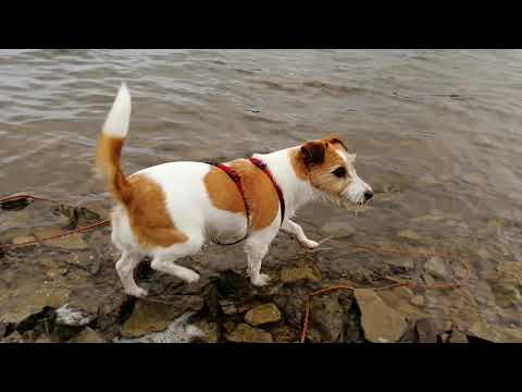 Jack Russell (Ara) --- Training for Iron Man/Dog in Möhnesee