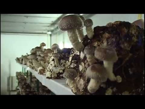 shiitake pilzzucht pilzanbau mushroom growing doovi. Black Bedroom Furniture Sets. Home Design Ideas