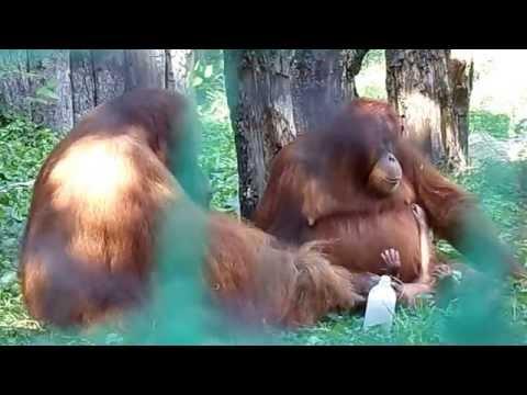 Chuij, his wife and baby (Sumatran Orangutan)