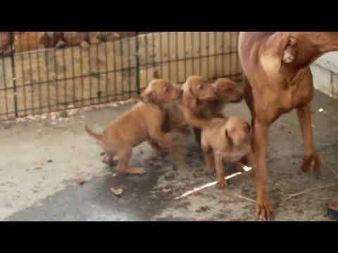 Vizsla Puppies For Sale