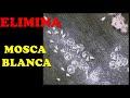 Como Eliminar MOSCA BLANCA DE LAS PLANTAS