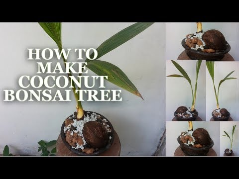 How To Make Coconut Bonsai Tree | Coconut Bonsai Growing Tips | How to Make Coco Bonsai | GREENPLANT